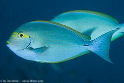 BD-141017-Komodo-5259-Acanthurus-xanthopterus.-Valenciennes.-1835-[Yellowfin-surgeonfish].jpg